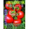 山东聊城西红柿交易市场