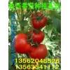 大量供应番茄(西红柿)