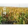 长期供应绿色小米 禾泰谷品